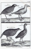 Water Rail - Corn Crake - Landrail  - Bird - Bird migration