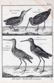 Woodcock - Scolopax Rusticola - Common snipe - Birds