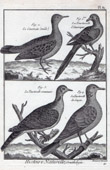 Cocotzin  - Turtledove - Bird