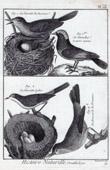 Birds - Curruca arundinacea - Prunella modularis - Dunnock - Cetti's Warbler - Bird