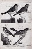 Bird - European Robin - Northern Wheatear - Bluethroat - Passerines