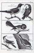 Birds - Great Tit - M�sange de Malabar - M�sange � grosse t�te - Short-toed Treecreeper - Passerines