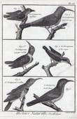Birds - Grimpereaux - Certhiidae - Short-toed Treecreeper - Passerines