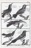 Birds - Grimpereaux - Certhiidae - Short-toed Treecreeper - Creeper of Ceylon - Passerines