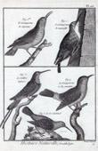 Birds - Grimpereaux - Certhiidae - Short-toed Treecreeper - Hummingbird - Passerines