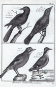 Birds - Western Jackdaw - Jay - Corvidae