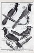 Bird - Jay - Passerines - Corvidae
