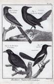 Birds - Eurasian Magpie - Corvidae
