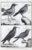 Birds - Brève du Bengale - Spotted Nutcracker - Coracias - European Roller