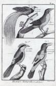 Birds - Birds of Paradise - Paradisaeidae - European Roller - Coraciida - Grivert - Rollier de Cayenne - Pied Butcherbird