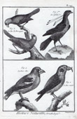 Birds - Hawfinch - Common Crossbill - Western Parotia