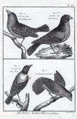 Stich von Vögel - Gros-bec - Kernbeißer - Queue en éventail - Bird Tail fan