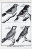 Stich von Vögel - Gros-bec - Kernbeißer