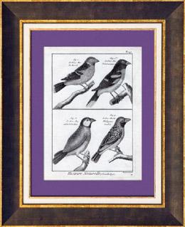 Vögel - Gros-bec - Kernbeißer