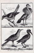 Birds - Pie-gri�che - Houbara - Huppe - Raven - Corvus - Corvidae