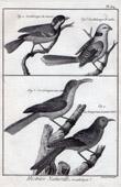Stich von Vögeln - Vogelkunde - Meisen - Baumläufer