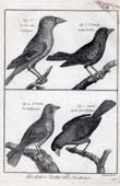 Stich von Vögel - Gros-bec - Kernbeißer - Ortolan