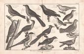Stich von Vögel - Ortolan - Kragenhuhn - Tangara - Kuckucke - Kleiber