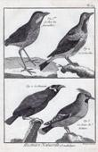 Stich von Vögel - Roi-fourmilliers - Schmetterlingsastrild - Gracula - Seidenschwanz - Sperlingsvögel