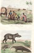 (Paraguay) - Brand cattle - Tapir - Anteater