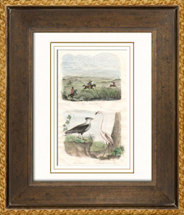 (Paraguay) - Hirsch Jagd - Karakara - Raubvogel - Flamingo