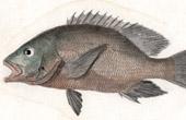 Fish - Diacope � Kignes Flexueuses