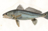 Fish - Johnius Ocellé - Corvina Ocellata