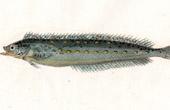 Fish - Myxode - Myxodes Ocellatus