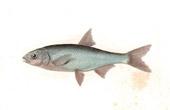 Fish - Able Nain - Leuciscus Parvulus
