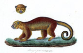Mammals - Kinkajou - Cercoleptes Potos