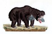 Mammals - Bear - Labiated bear - Ursus labiatus - De Blainville