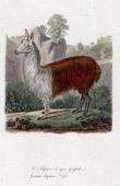 Mammals - Alpaca - Camelidae - Lama alpaca - Griffith
