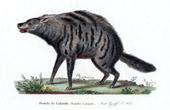 Mammals - Aardwolf - Proteles cirstatus - Proteles Lalandii - Hyaenidae - I. Geoffroy Saint-Hilaire