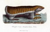 Mammals - Pink fairy armadillo - Chlamyphorus truncatus - Richard Harlan