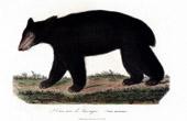 Mammals - Bear - American black bear - Ursus americanus