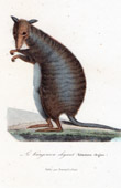 Mammals - Marsupials - Kangaroo - Halmaturus elegans - Macropus laniger