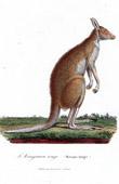Mammals - Marsupials - Kangaroo - Macropus laniger