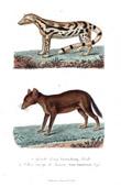 Mammals - Carnivores - Ginet - Viverra lisang - Canis Sumatrensis