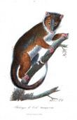 Mammals - Marsupials - Phalanger - Cuscuses - Phalangeridae - Phalangista Cookii