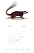 Mammals - Mustelids - Ferret-badger - Chinese ferret-badger - Paws - Teeth