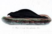 Marine mammal - Carnivore - Earless seal - Phoca proboscidea