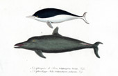Aquatic mammals - Dolphin - Cetacea - Southern right whale dolphin - Delphinorhyneus malayanus