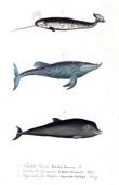 Marine mammals - Cetacea - Narwhal - Monodon monoceros - Delphinus Desmaresti - Hyperoodon Butskopf
