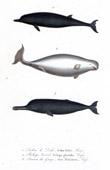Marine mammals - Cetacea - Aodon dalei - Beluga glacialis - Susu platanista - Lesson