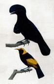 Birds - Umbrellabird - Cephalopterus ornatus - Cotingidae - Golden Oriole - Oriolus regens - Oriolidae