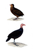 Birds - Aleclhelia Urvillii - Red-billed Brushturkey - Talegalla cuvieri