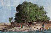 Sycomore in Nubia - Sudan - Egypt