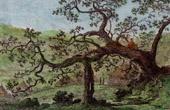 Daro Baum in Abessinien (�thiopien)