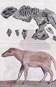 Fossils - Anoplotherium