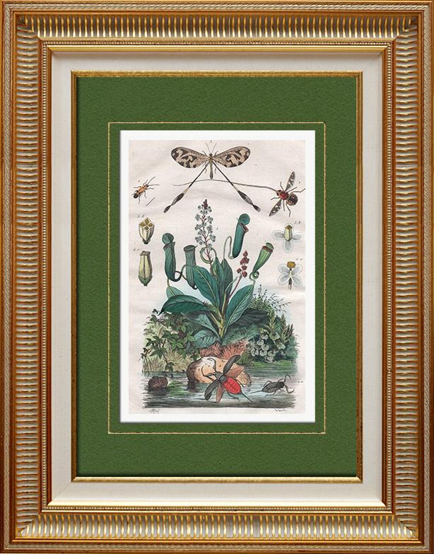 Gravures Anciennes & Dessins | Insectes - Némestrine - Némognathe - Némoptère - Nèpe - Népenthe | Taille-douce | 1837